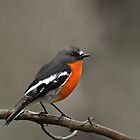 Flame Robin by Jeremy Weiss