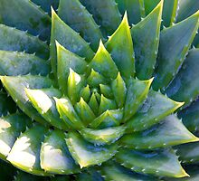 Aloe by John Butler