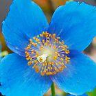 Blue Poppy by Ferdinand Lucino