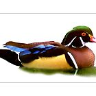 Wood Duck #6 by Michelle Bush