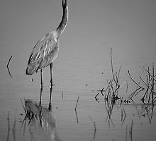 Wading heron by bettywiley