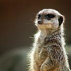 Meerkat on the watch by Cara Barron