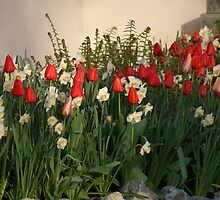 Red Tulips & Narcissus ~ April  2010, Victoria, BC by Brian Middleton
