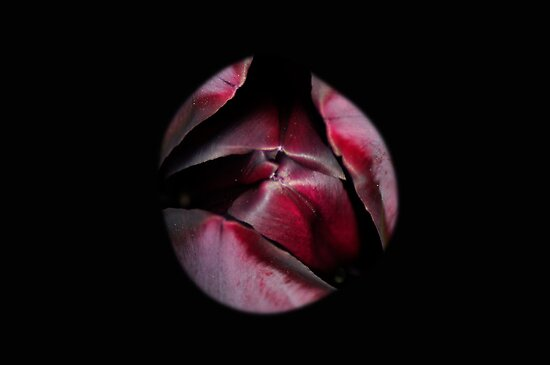 Emerging Queen of the Night Tulip by Rodney Bovell