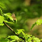 Speckled Wood Butterfly by Rodney Bovell