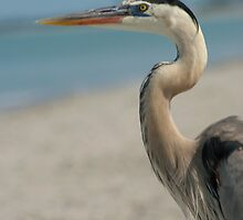 Great Blue Heron by Jcook