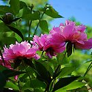 Peony  Breeze by Mattie Bryant