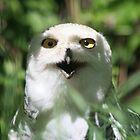 Snowy Owl by PrairieRose