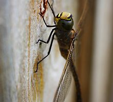 Dragonfly... by JanelleSilver