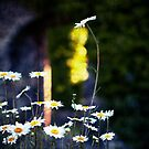 Daisys by Michel Raj