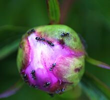 Ants on the Peone Bud #2 by missmoneypenny