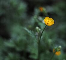Buttercup by Kim  Ayres