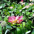 Lotus I by Elizabeth Rose Rawlings