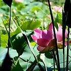 Lotus III by Elizabeth Rose Rawlings