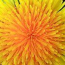 Dandelion Macro by Debbie  Roberts