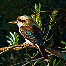 Laughing Kookaburra by Les Boucher