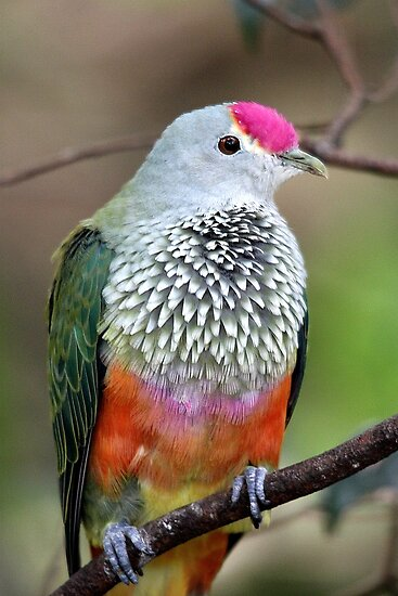 Rose-crowned Fruit Dove by EnviroKey