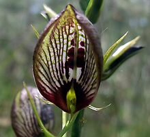Tartan Tongue Orchid by EnviroKey