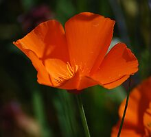 Orange California Poppy by Jonice