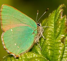 Green Hairstreak by Durotriges