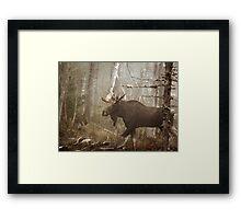Maine Bull Moose During Mating Season... Framed Print