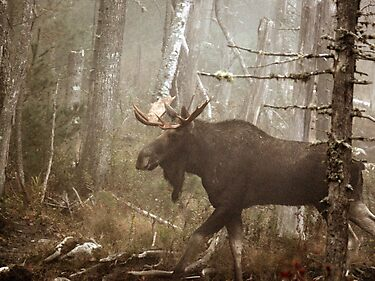 Maine Bull Moose During Mating Season... by mooselandtours