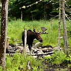 Bull Moose In Western Maine by mooselandtours