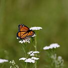 Dream of a Monarch by Janika