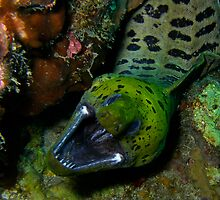 Fimbriated Moray Eel by Denise J. Johnson