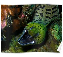 Fimbriated Moray Eel Poster