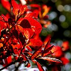 Red Leaves in the Sun by terrymay