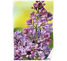 Oh the Aroma of Lilacs Poster