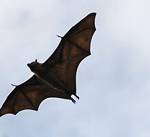 aussie flying fox in flight by fototaker