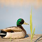 Resting duck by Mark  Humphreys