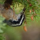 Red-breasted Nuthatch - mommy finds the grub! by Joy Danen