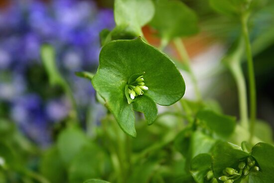 Purslane by SmoothBreeze7