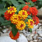 Macro Of Shrub Verbenas or Lantanas (Lantana Camara)  by taiche