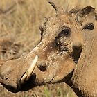 Warthog close-up by Graeme Shannon