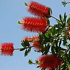 bottle brush bush  by Inese
