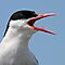 Arctic Tern, Portrait - Sterna paradisaea by David Lewins LRPS