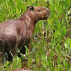 Wet capybara by Anthony Brewer
