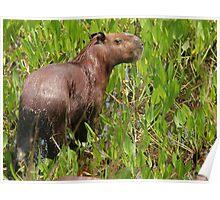 Wet capybara Poster