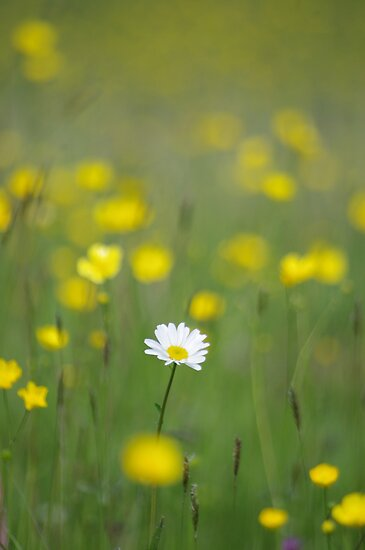 Lone Daisy by Mark Wilson