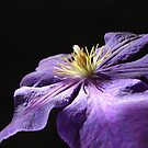 Purple Clematis by Sheryl Kasper