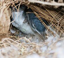 """""""Little Penguin in nest - Shelley Beach"""" by Reneefroggy"""