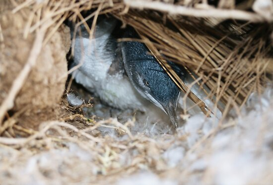 """Little Penguin in nest - Shelley Beach"" by Reneefroggy"