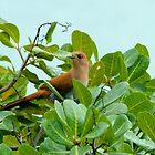 Squirrel Cuckoo by Robert Abraham
