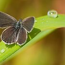 Small Blue by Durotriges