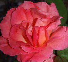 Full peach rose by ?? B. Randi Bailey