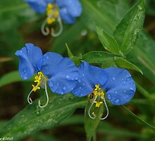Asiatic Dayflowers - Commelina communis by Lee Hiller-London
